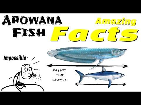 Arowana Fish Facts