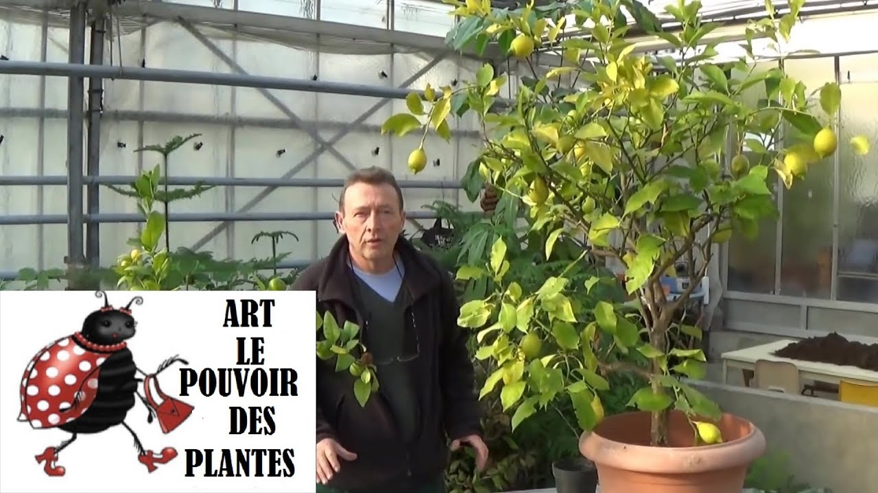 Gardening tv channel how to treat lemon chlorosis yellow - Planter tomates cerises en pot ...