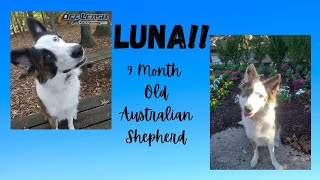 "9 Month Old Australian Shepherd ""LUNA"" | 2 Week Transformation | From stubborn to listening!"