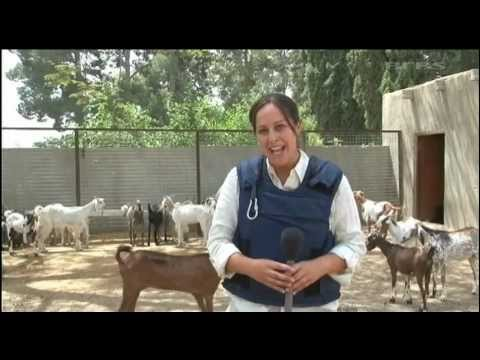 Goat Farming: the new alternative to boost income of Afghan Farmer's  05 08 11