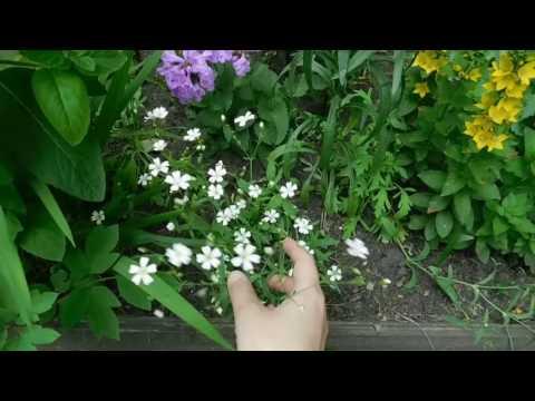 Звездчатка средняя, изящный многолетник в саду !