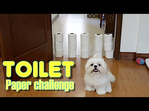 Shih Tzu Reacts to The Toilet Paper Challenge ( Cute Funny Dog Video)