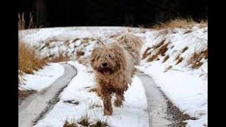 #145 KOMONDOR  | Which Dog Should I Get? Dog Breed Selector
