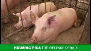 Pig Housing in Australia - a balanced view