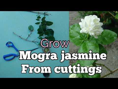 how-to-grow-mogra-jasmine-from-cuttings