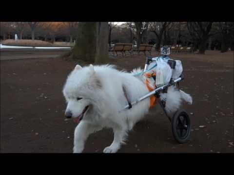 #43 『大好き!おっきな公園♪』| サモエド クローカのモフモフ日記 | 犬といっしょ | アイリスペットどっとコム