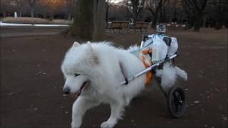 #43 『大好き!おっきな公園♪』  サモエド クローカのモフモフ日記   犬といっしょ   アイリスペットどっとコム