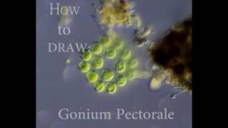 How to draw Green Algae: Gonium Pectorale