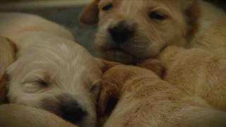 Golden Retriever Puppies - Week 2
