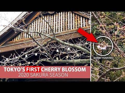 Tokyo's First Cherry Blossom of 2020 | The Sakura Forecast Tree