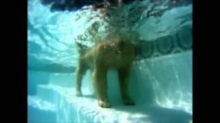 Samson The Golden Retriever Diving In The Pool