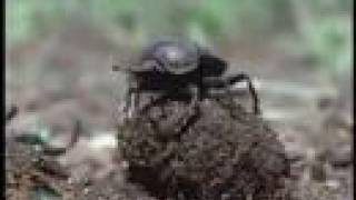 The Hidden World of Africa: Dung Beetle