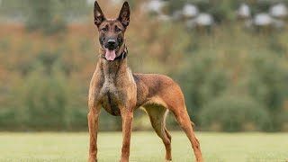 10 Facts About Belgian Malinois That You Don't Know