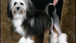 Löwchen Dog Breed   Lowchen Dog Breed Information