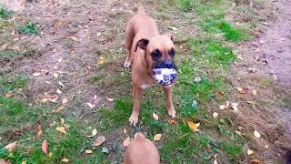 Boxer Puppy and Boxer Dog. Щенок боксера и ноги.