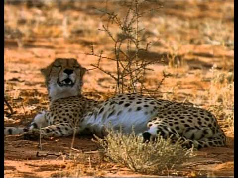 Cheetahs: The Deadly Race  A Documentary by National Geographic