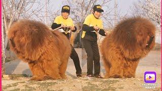 Tibetan mastiff   world's biggest dog breed tibetan mastiff weight male 100–160 lbs