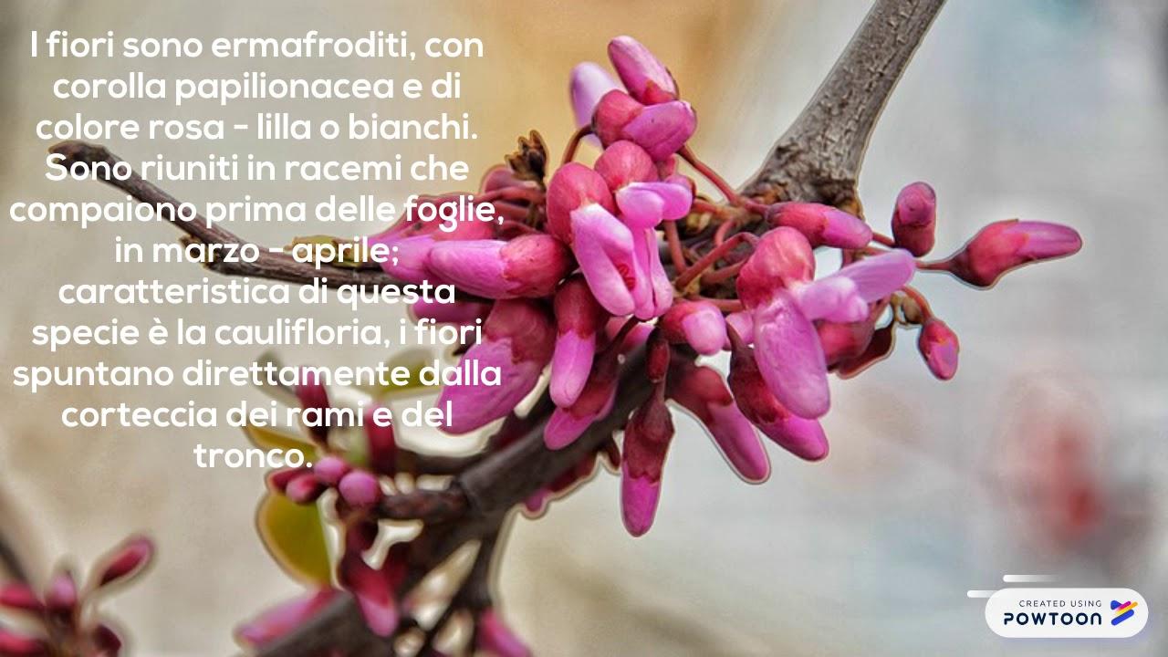 Albero Con Fiori Bianchi albero di giuda