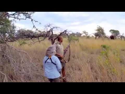 Africa elephant charge at Zulu Nyala