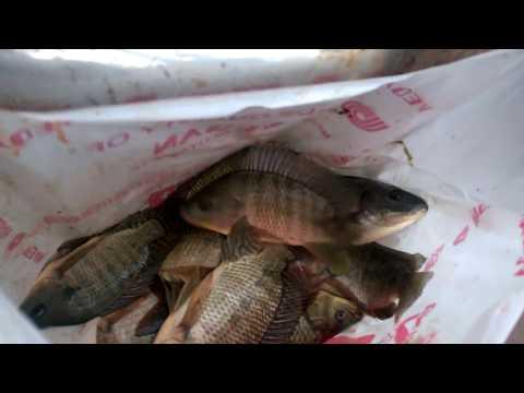 Mang cần câu súng đi câu cả đàn rô phi ở Tây Hồ Hà Nội #Fishings
