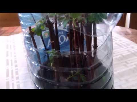 Как размножить вишню