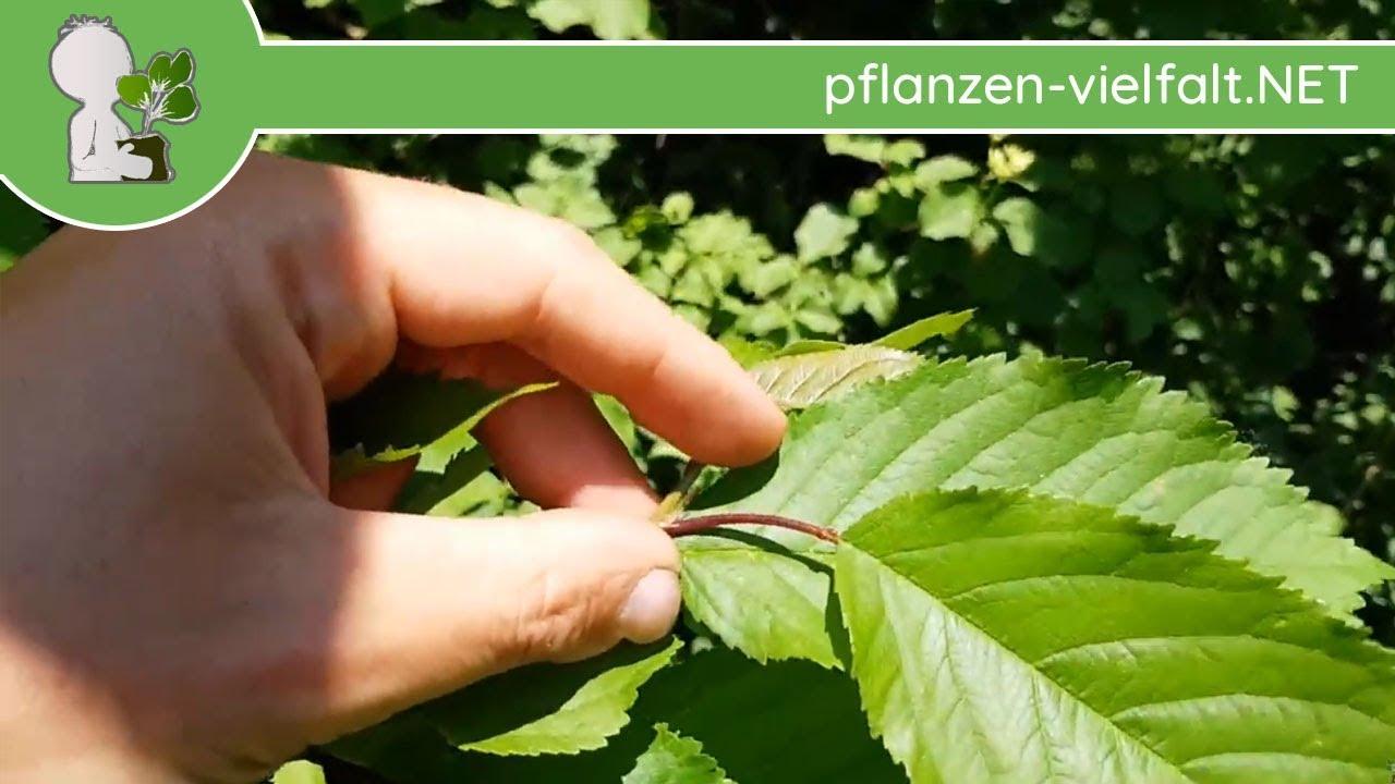 Fabelhaft Vogel-Kirsche - Blatt/Blätter - 09.05.18 (Prunus avium) - Bäume #QK_39