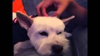 Westie, Loving A Good Head Scratch~