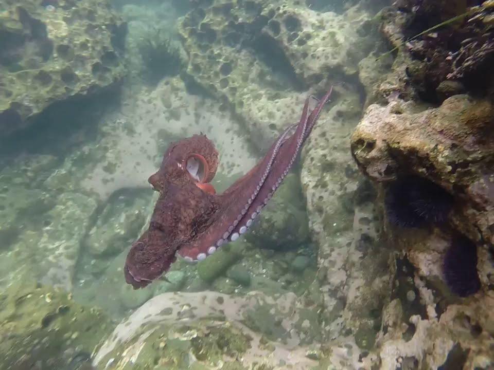 Octopus Eats A Sea Urchin In A Tide Pool Youtube