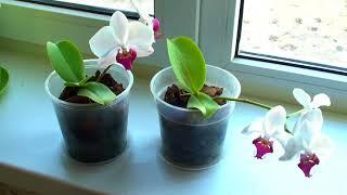 за сколько орхидея обгорит на солнце, чем буду притенять окна
