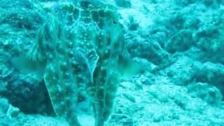 Cutter Fish