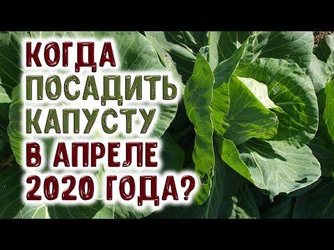 Когда посеять семена капусты и посадить рассаду капусты в апреле 2020 года? В лучшие дни! | выращивание | горяченко | вырастить | рассада | капусты | капусту | капуста | сажать | ранняя | огород