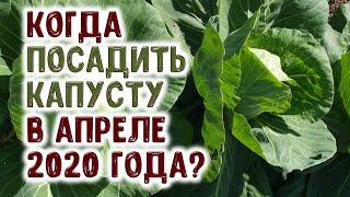 Когда посеять семена капусты и посадить рассаду капусты в апреле 2020 года? В лучшие дни!