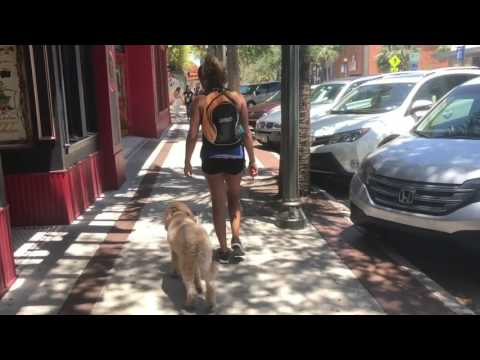 """3 yr old Goldendoodle """"Zach"""" 
