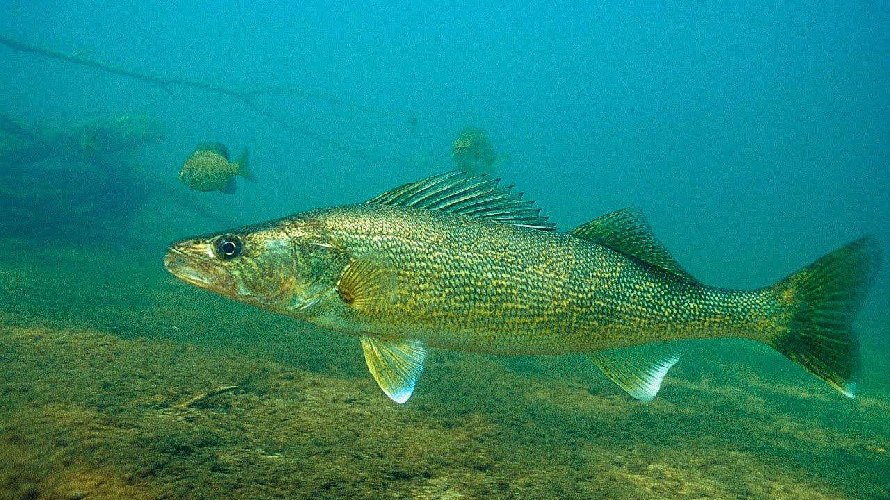 Secret Life of Walleyes-Engbretson Underwater Photography ...  Secret Life of ...