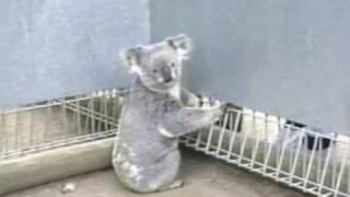 1990年にシドニーの動物園で撮影。大勢の観光客に囲まれてしまったコア...