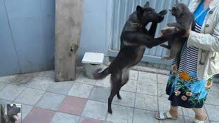 Собака встречает кота с прогулки. Смешные животные. Dog meets cat with a walk. Funny animals