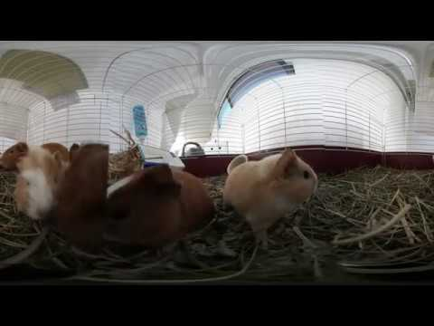 Guinea Pig Babies - Now in 360!
