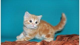 Яша,, шотландский мраморный кот