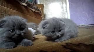 Ласковые шотландские котята =)