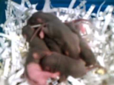 Baby Rats From Birth To 21 Days Old
