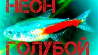 Аквариумные рыбки.Неон Голубой