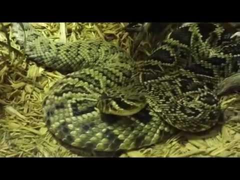 Eastern Diamondback Rattlesnake Cottonmouth Yellow Rat Snake