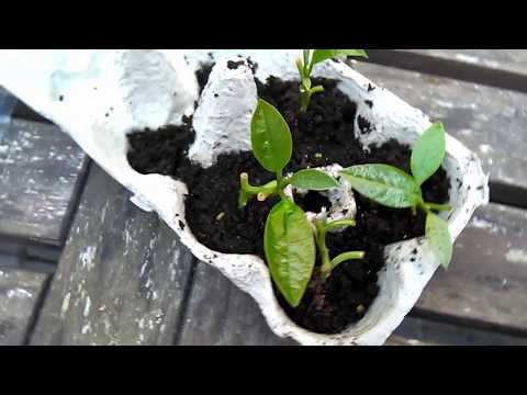Avocado Tree And Cuttings