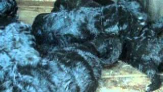 Shepadoodle Puppies, Québec