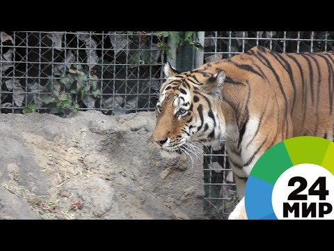 В Приморье тигр напал на мужчину в тайге - МИР 24