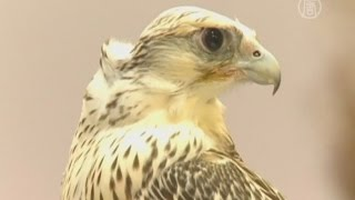Самого красивого сокола выбрали в Абу-Даби (новости)
