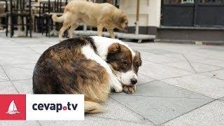 Köpeklerde Distemper (Gençlik Hastalığı) belirtileri nelerdir?