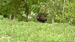 Real footage of Big Foot,  sasquatch, abominable snowman