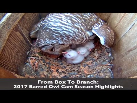From Box To Branch: 2017 Barred Owl Cam Highlights