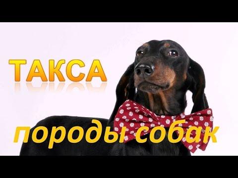 Вопрос: Что вы можете сказать о породе собак Такса?